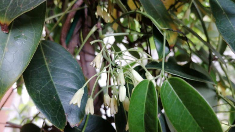 Holboellia latifolia, un rampicante per la siccità