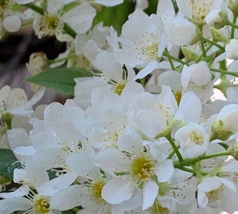 Prunus padus, il cilegio a grappoli