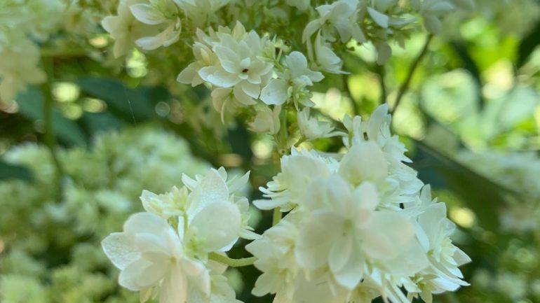 Le ortensie arborescens de I Giardini e le Fronde