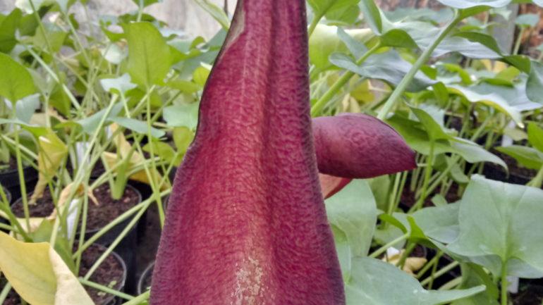 Piante strane: Arum cyrenaicum