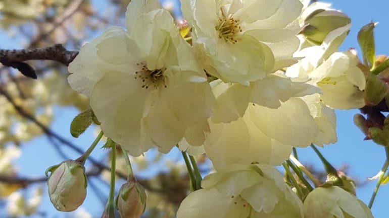 Prunus 'Ukon', Lavinia Taverna e altri ciliegi da fiore