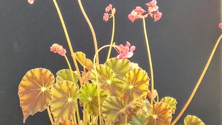 Una begonia molto carina: Begonia mazae nigricans