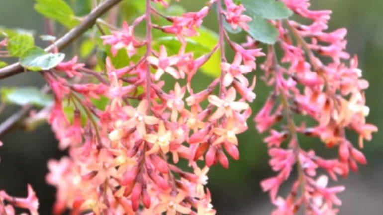 Un ribes da fiore che profuma di caramella