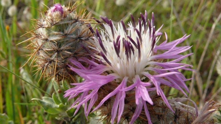 Nuove scoperte botaniche: il fiordaliso di Punta Pizzo