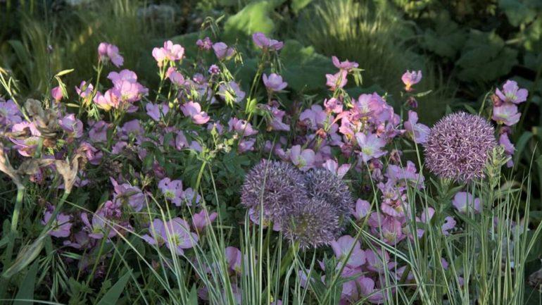 Facili, belle e utili, le Oenothera messicane