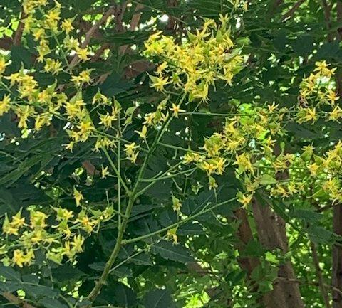 Koelreuteria paniculata, piccolo albero da riscoprire