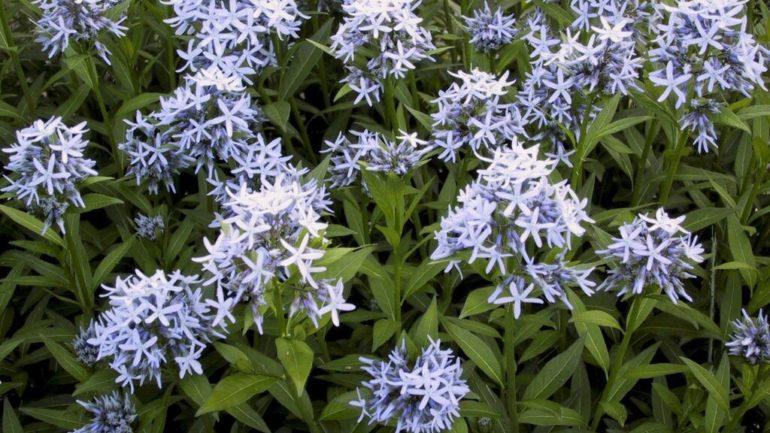 Stelline azzurre: Amsonia tabernaemontana