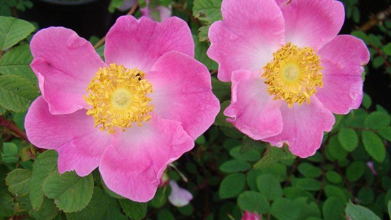 Le rose botaniche di Andrea Bassino