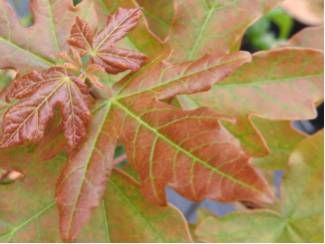 Acer campestre 'William Caldwell'