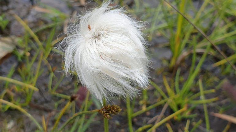 I piumini bianchi di Eriophorum scheuchzeri