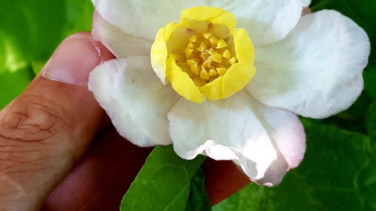 Una perla preziosa: Calycanthus chinensis