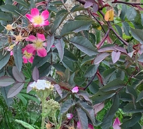 Rosa glauca: una rosellina per la montagna