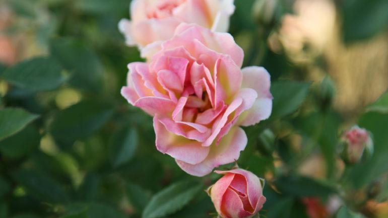 Cinque rose di Monica Cavina