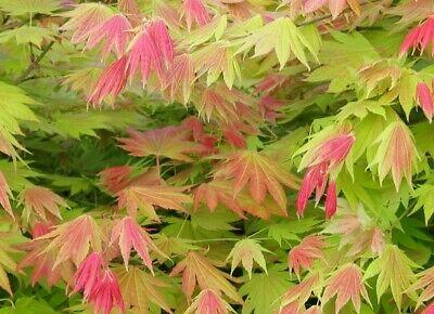 Lo spettacolare Acer shirasawanum 'Moonrise'