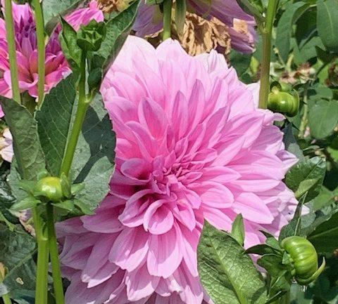 Le dalie e altri fiori da taglio di Maria Formentin
