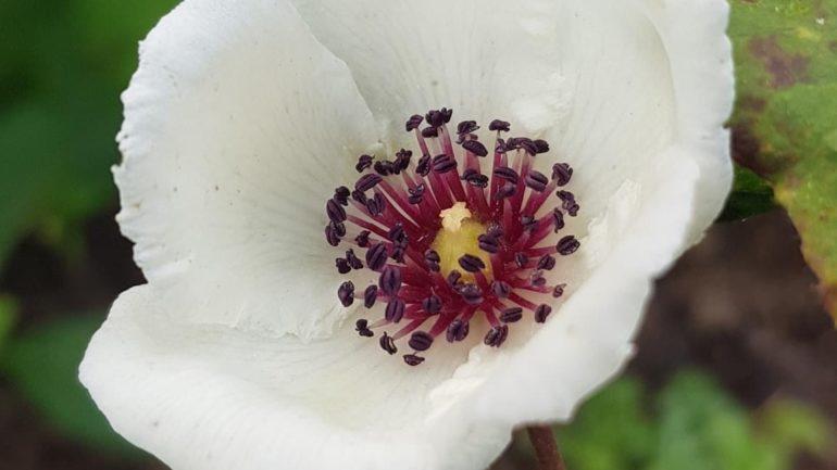 Stewartia malacodendron, bellezza rara