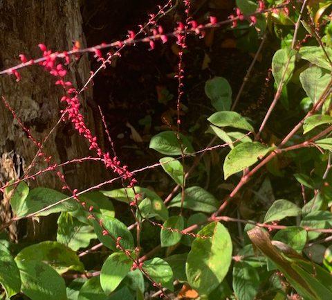 La deliziosa Persicaria virginiana filiformis