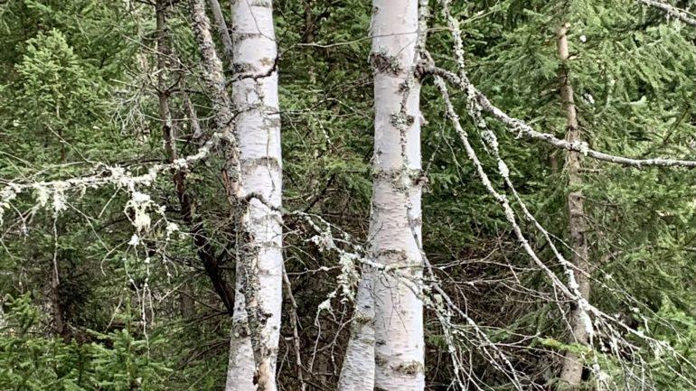Betulle nel bosco e in poesia