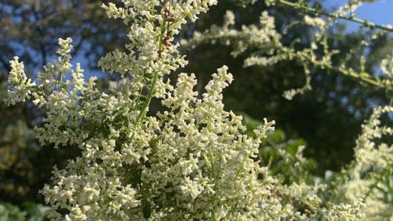 Artemisia lactyflora, l'artemisia bianca