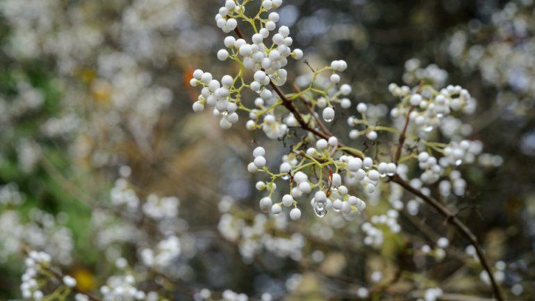 Callicarpe: bacche viola, lilla, bianche