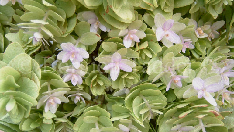 La spettacolare Hydrangea involucrata 'Mihara Kokonoe tama'