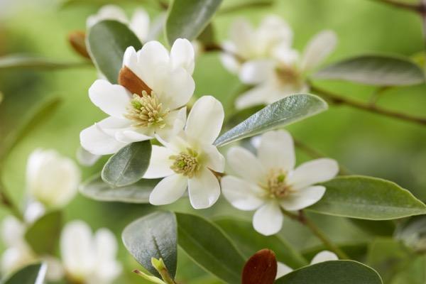 Magnolia laevifolia 'Vanilla Pearls', una deliziosa magnolia arbustiva