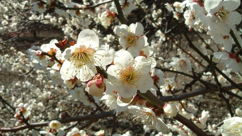 Prunus mume, albicco giapponese o albicocco d'inverno
