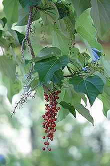Idesia polycarpa, un albero dalle tante bellezze