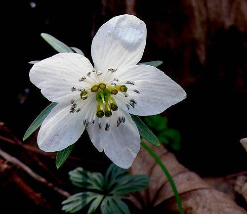 Eranthis byunsanensis, l'aconito d'inverno coreano