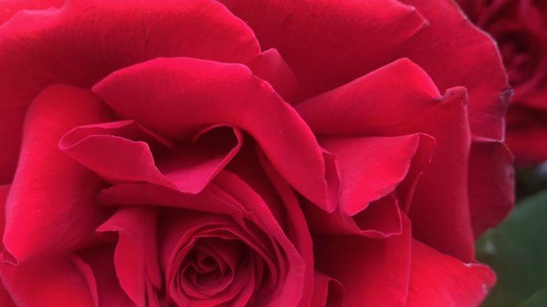 Rose rosse d'amor