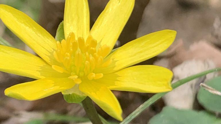 Ranunculus ficaria, piccolo sole