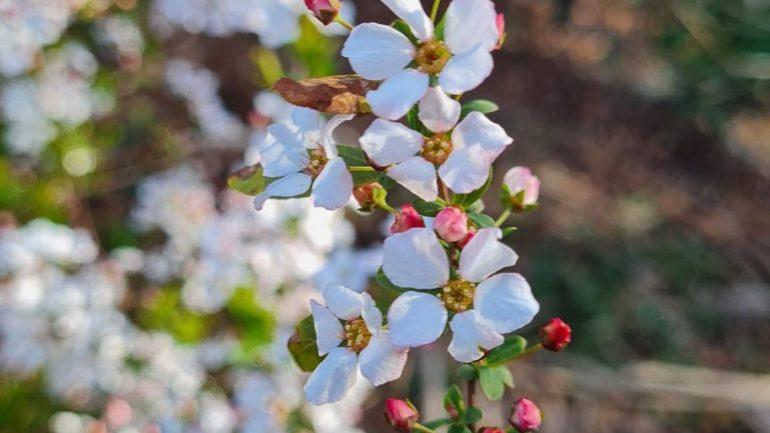 La delicatezza di Spiraea thunbergii 'Fujino Pink'