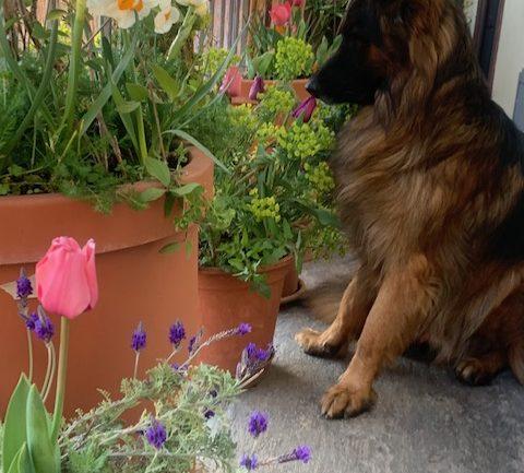Marzo 2021: narcisi e tulipani