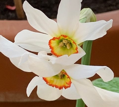 Narcissus poeticus, il narciso dei poeti