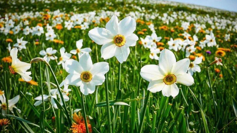 Narcisi in fiore: dove trovarli