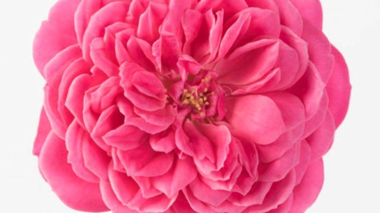Le Rose Eduli di Dennis Botanic Collection